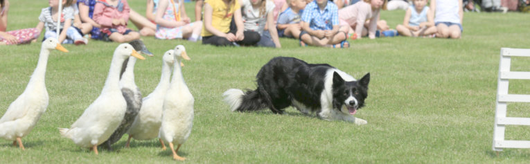 K9 Quackers sheepdog and duck display